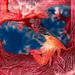 Porcelain crab by Randi Ang