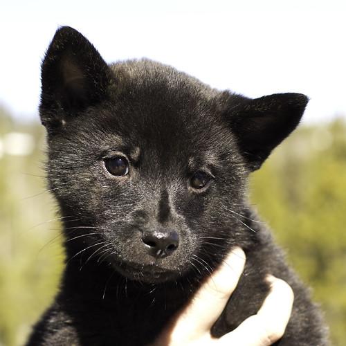 Nami-Litter1-Day54-Puppy1-Female(Kiyomi)-1