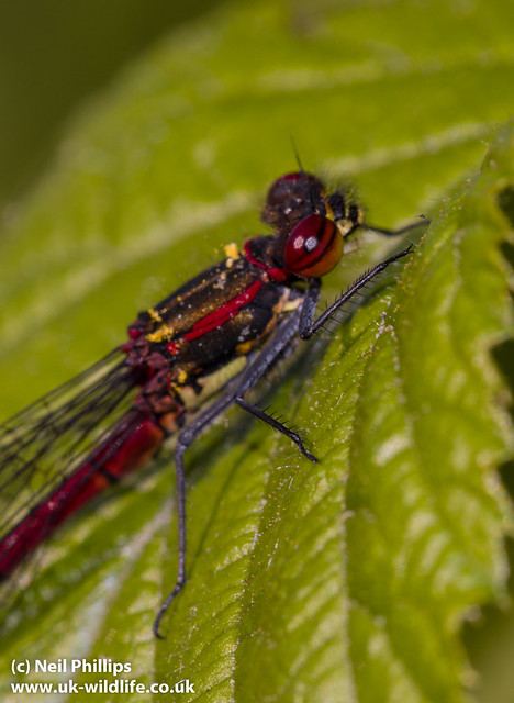 large red damselfly-9