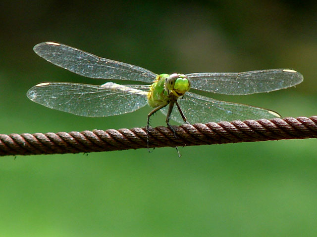 dragonfly-on-cable
