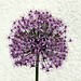 Purple Haze by Christine Dolan