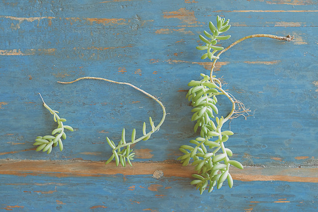 Bouturer des succulentes planb par morganours for Petite plante verte exterieur
