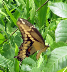 Tattered Swallowtail