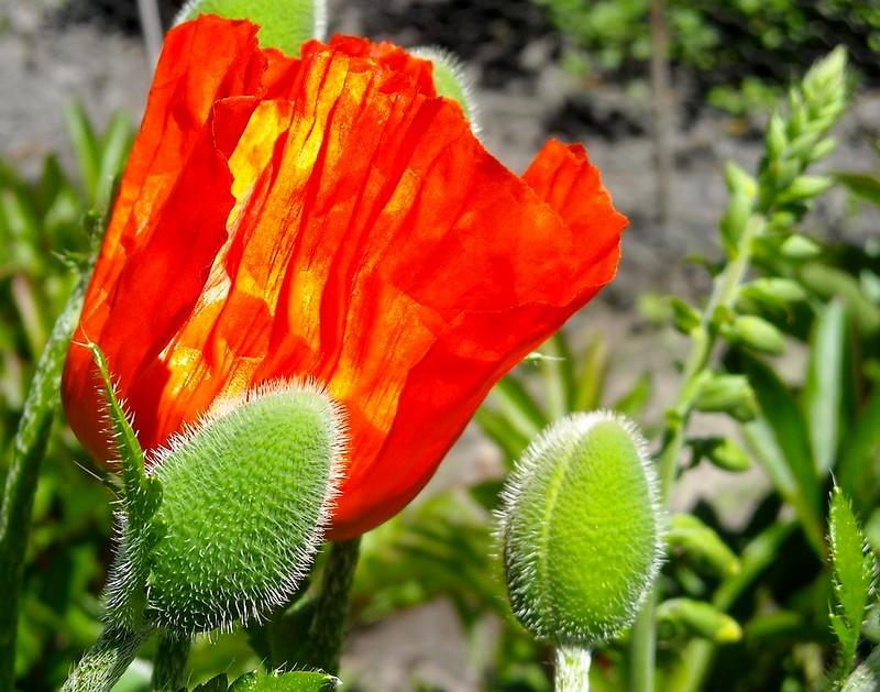 Orientalischer Mohn***Oriental Poppy***Papaver orientale