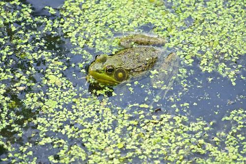 Jeremiah Was A Bullfrog (Explored 6/22)