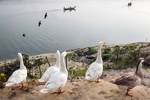 Geese - Rajshahi, Bangladesh