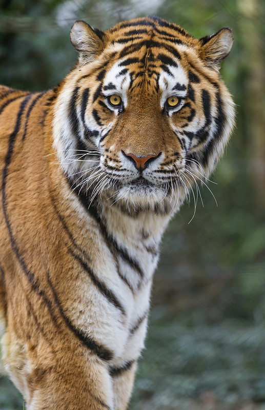 Nice portrait of the tiger!