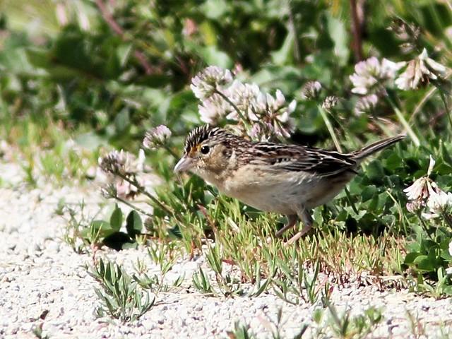 Grasshopper Sparrow 6-20140608