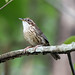 Small photo of Puff-throated Babbler