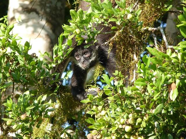 Mono aullador vigilando desde los árboles (Tikal, Guatemala)