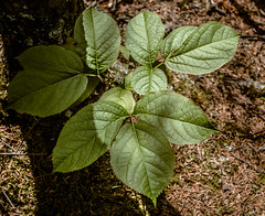 Leaf Clusters, Silver Bay