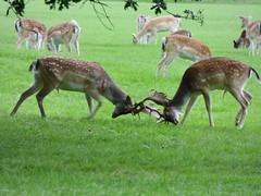 Holderfallow deer Rutting