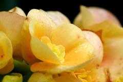 Miniature Begonia {Explored}