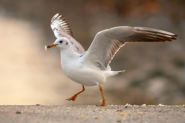 Gull - feeding - wings