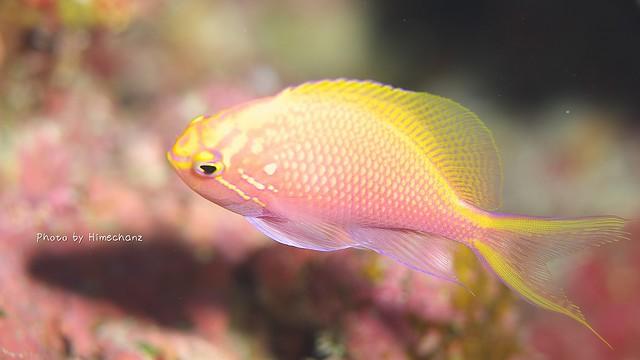 ちょろちょろ動いて撮るの大変!ハナゴンベ幼魚