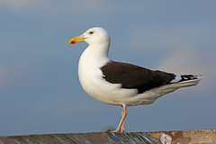 HolderGreat Black-backed Gull, Whitehaven, Cumbria, England