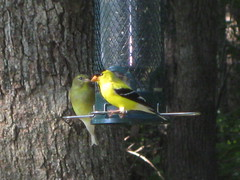 Yellow in Spring ~ Winged Friends