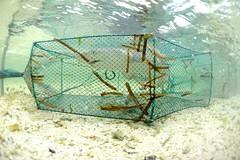 被誘捕進籠的檸檬鯊。陳餘鋆攝。