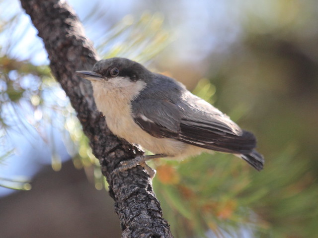 Pygmy Nuthatch 20130618