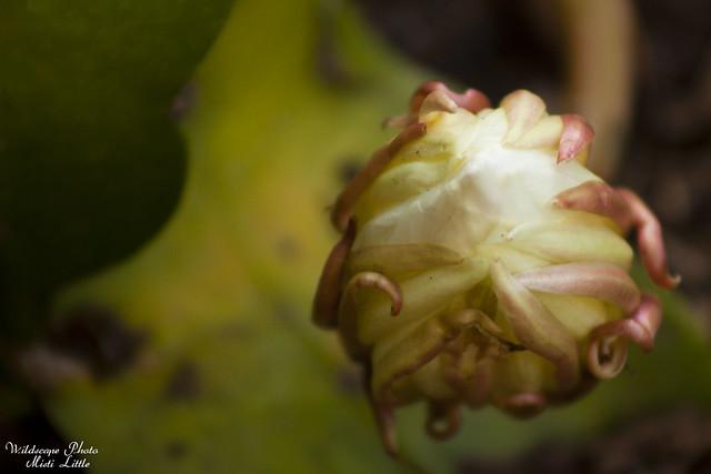 cereus14