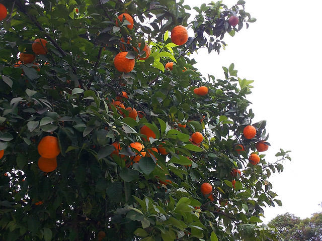 Naranjas agrias