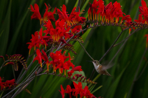 hummingbird on crocosmia