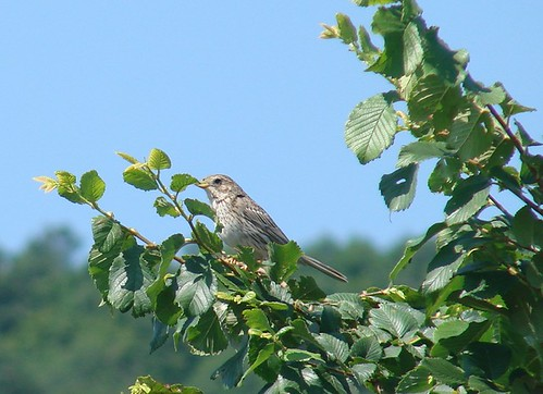 Corn Bunting Bulgaria 2007 June 117