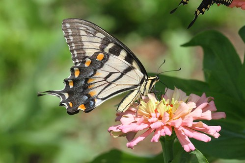 blue orange black yellow butterfly northcarolina swallowtail tigerswallowtail richmondcounty papilioglaucus eyespot