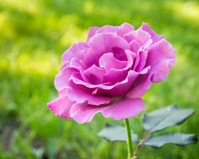 Rose, Purple, Pink,