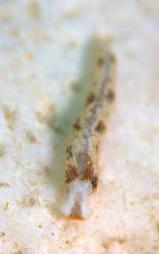 クチヒゲオトメウミウシ