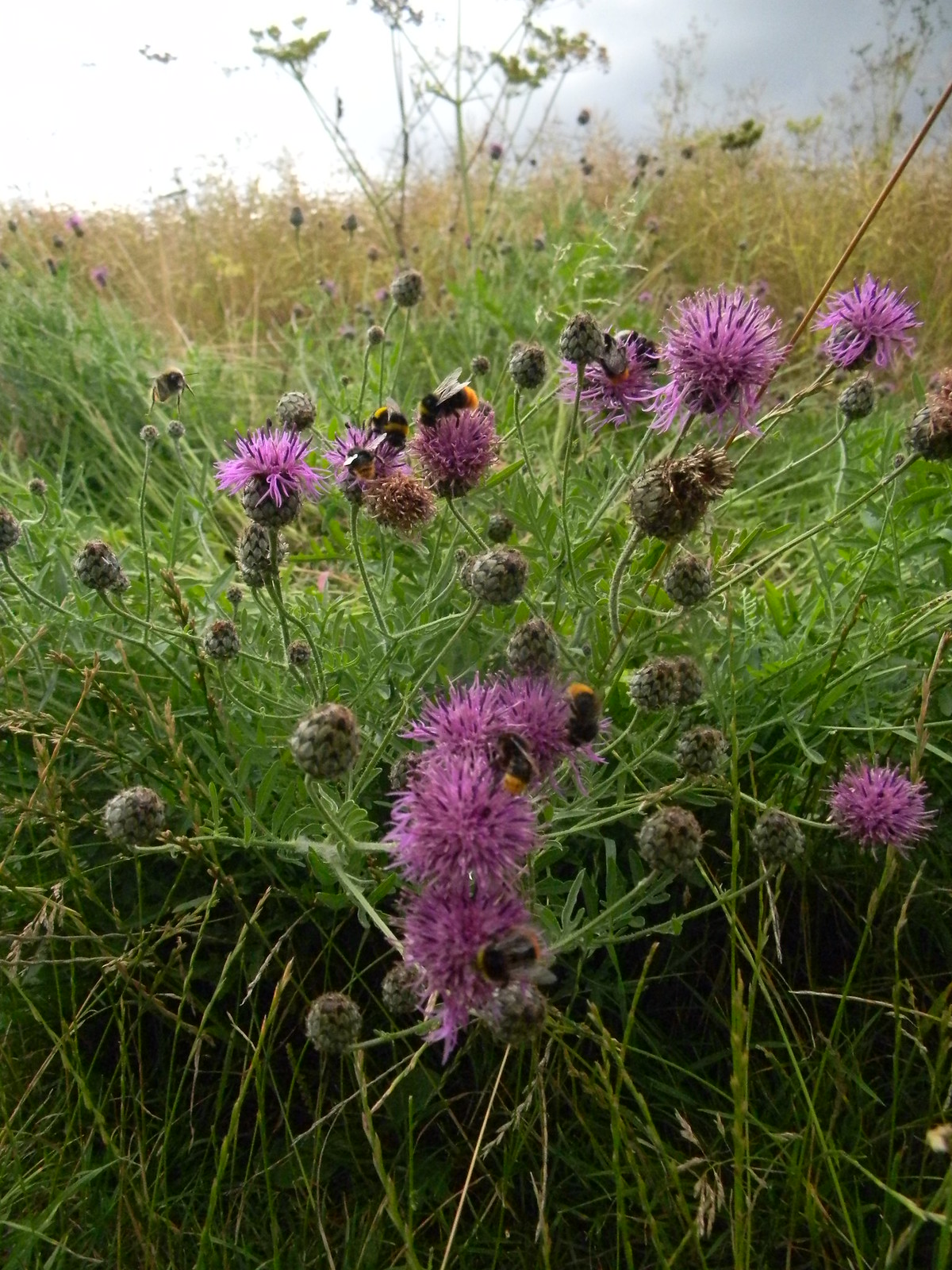 Bees on Knapweed Kintbury to Great Bedwyn