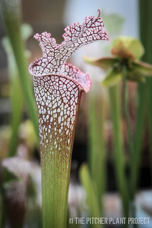 "Sarracenia ""Wilkerson's Red Rocket"""