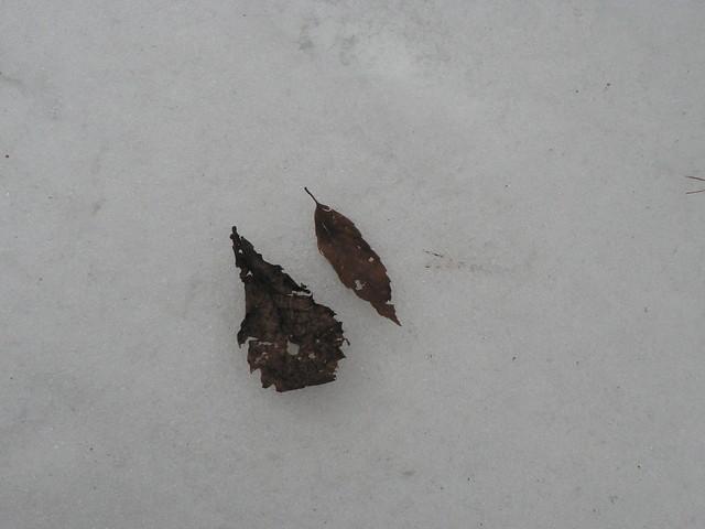 コナラとミズナラの葉.さてどちらがどっち?? (こたえ:左がミズナラです)