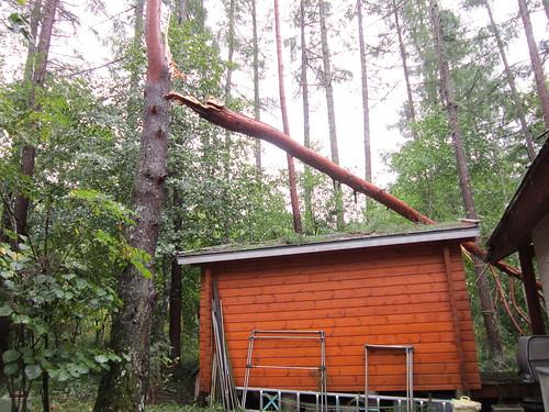 台風18号で折れた赤松 2013年9月16日13:44 by Poran111