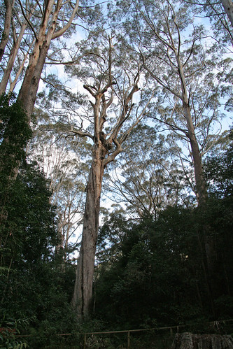 20130822_0893 The Bird Tree (largest by volume in NSW)