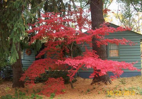 red japanese maple between big evergreens