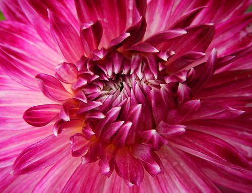 pink dahlia in Naramata