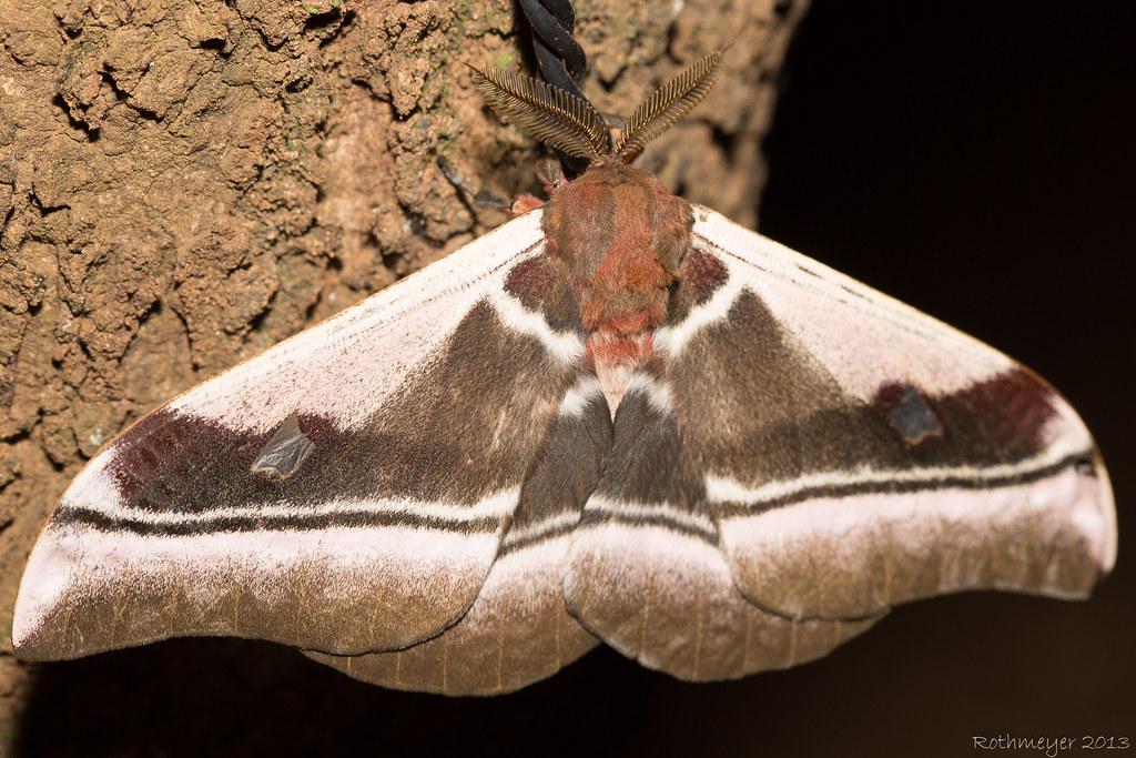 Moth ssp?