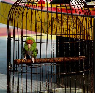 Image of  Playa Negra Punta Hermosa. bird beach peru parakeet summertime canary puntahermosa