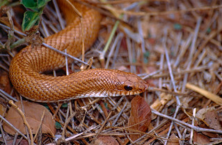 Madagascan Golden Hognose Snake (Leioheterodon modestus)