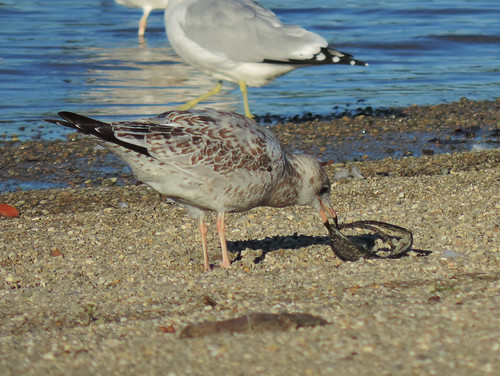Immature Ring-billed Gull with sunglasses