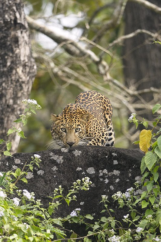 Staring leopard behind a rock