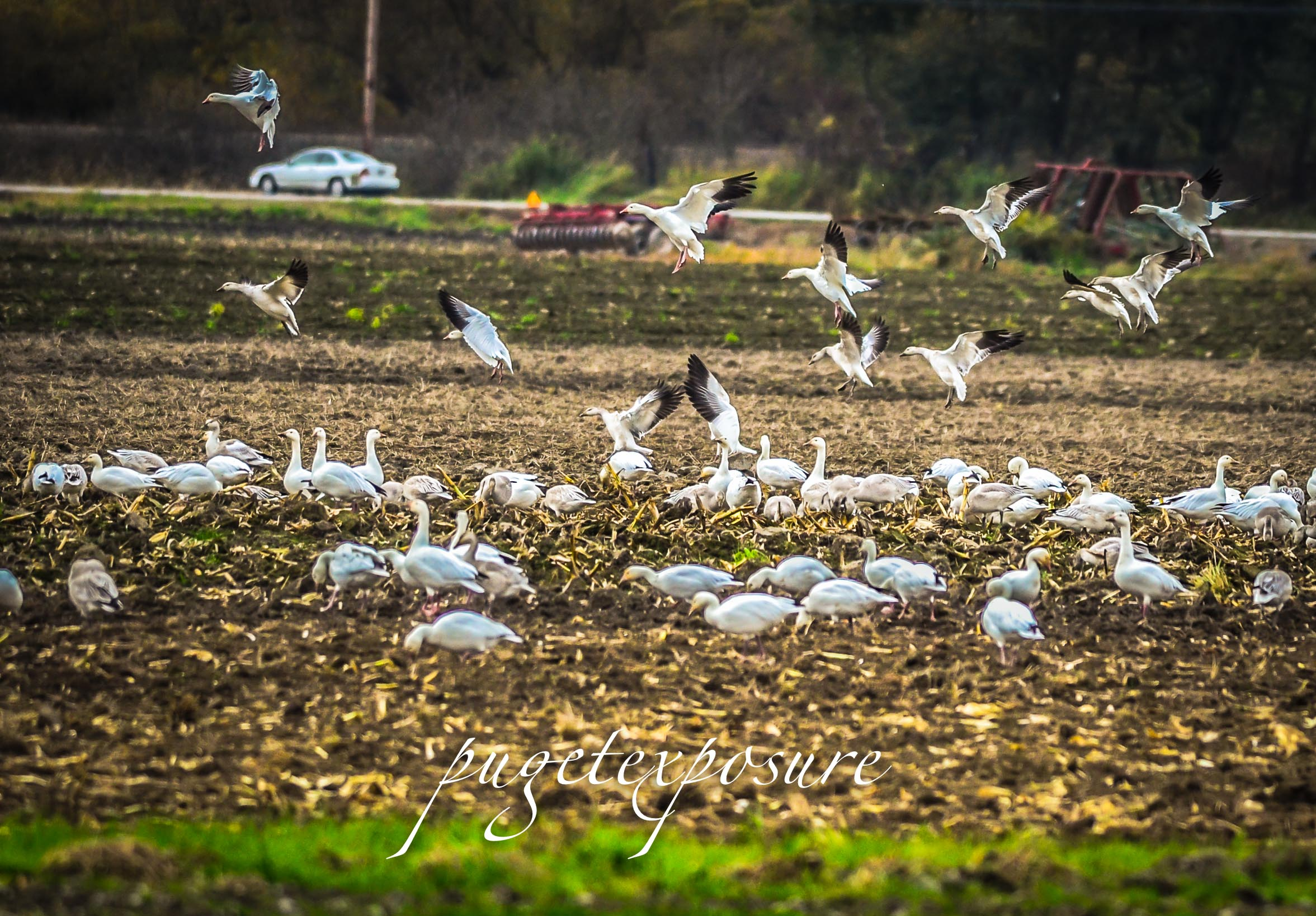 Snow Geese arrival Mount Vernon, WA 2013
