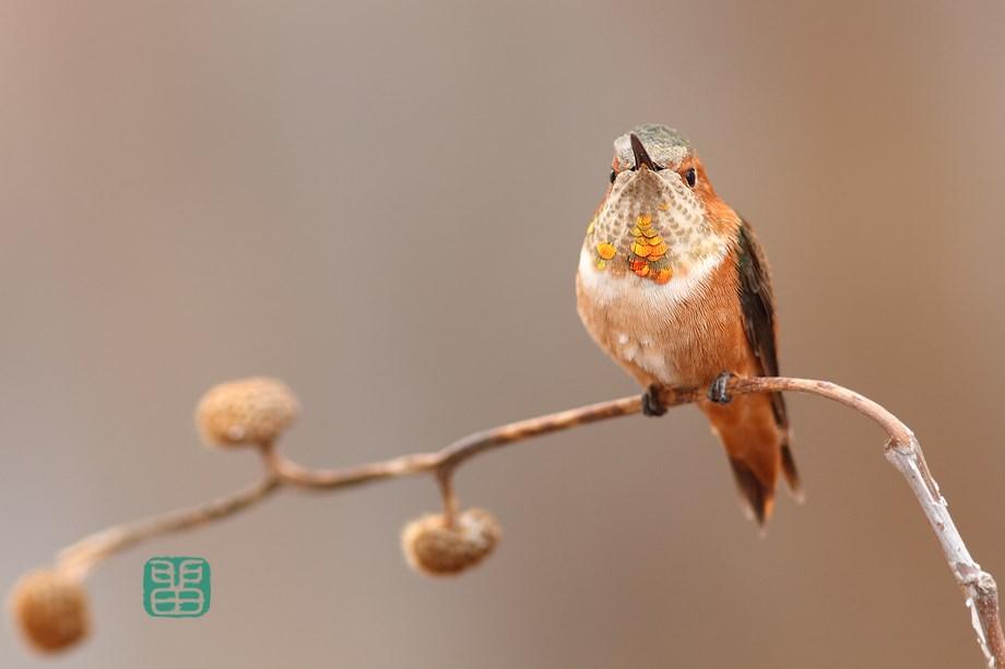 immature male Allen's Hummingbird 111513