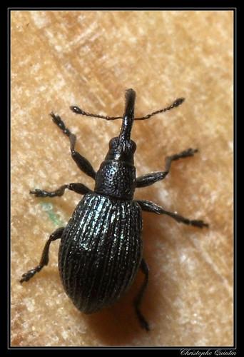 Ischnopterapion virens