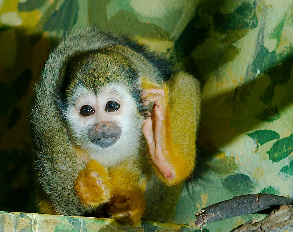Common Squirrel Monkey (Saimiri sciureus)_2