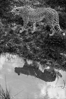 Cheetah's reflection