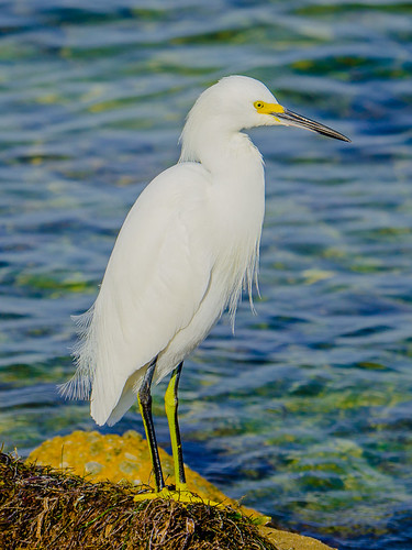Egret on the rocks along #TampaBay