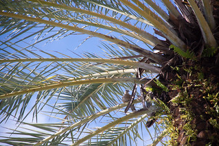 Collared Dove in a Palm Tree at the Raleigh Hotel in South Beach - Miami Beach, FL
