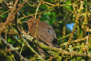 Female blackbird hiding from sparrowhawk